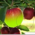 painting-bottom-apple1